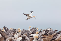 Colony of Australasian Gannets Morus serrator Stock Photography