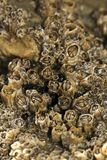 Colony of barnacles Royalty Free Stock Image