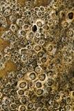 Colony of barnacles Royalty Free Stock Photos