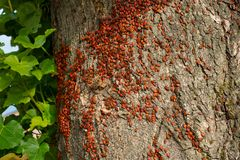 Colony of beetles firebugs attacks an old tree. The Colony of beetles firebugs attacks an old tree stock images