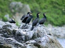 Colony of big black cormorants sitting on rock Stock Photography