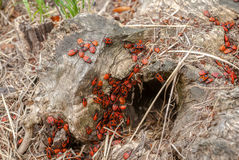 Colony of black and red Firebug or Pyrrhocoris apterus, on a old tree stump stock image