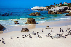 The colony of black- white African penguins Royalty Free Stock Image
