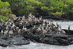 Colony of blue footed boobies Royalty Free Stock Image