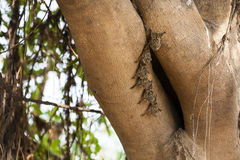 Colony of Brazilian Long-nosed (Proboscis) Bats on Tree Royalty Free Stock Photos