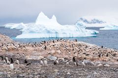 Colony of breeding Gentoo penguins on Cuverville Island and icebergs in Errera Channel, Western Antarctic Peninsula, Antarctica royalty free stock photos