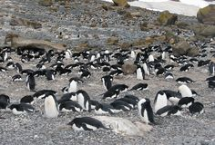 Colony brooding Adelie penguins. Colony Adelie penguins brooding their eggs, Antarctica royalty free stock photos