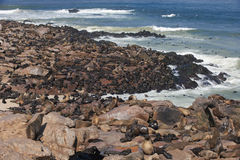Colony of brown fur seals, Arctocephalus pusillus Royalty Free Stock Photo
