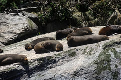 Colony of Brown fur seals basks on a large rock. Royalty Free Stock Photography