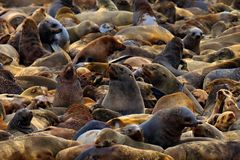 Colony of Cape Brown fur seal, Arctocephalus pusillus, a lot of animals on the beach. Art view nature on the, Walvis Bay, Namibia stock photography