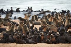 Colony of cape fur seals, Arctocephalus pusillus, in Namibia. Great colony of Cape fur seals Arctocephalus pusillus fur at Cape cross in Namibia stock images
