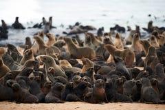 Colony of cape fur seals, Arctocephalus pusillus, in Namibia. Great colony of Cape fur seals Arctocephalus pusillus fur at Cape cross in Namibia royalty free stock photo