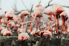 Colony of Caribbean Flamingo Royalty Free Stock Image