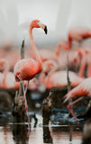 Colony of Caribbean Flamingo Royalty Free Stock Photography
