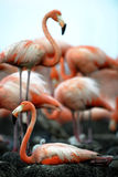 Colony of Caribbean Flamingo Royalty Free Stock Images