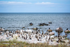 A colony of cormorant birds and seals at rocks in the Baltic sea. Stock Photography