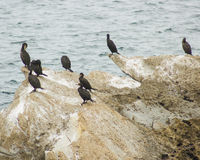 Colony of cormorants (Galhetas in popular Portuguese) in a rock on Baleal village, Peniche, Leiria district, Portugal. Zoologic Stock Photography