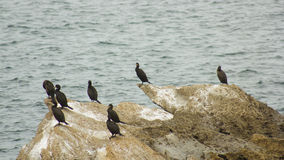 Colony of cormorants (Galhetas in popular Portuguese) in a rock on Baleal village, Peniche, Leiria district, Portugal. Zoologic Stock Images
