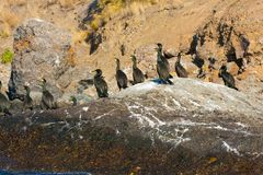 Colony crested cormorants on stones. Royalty Free Stock Photos