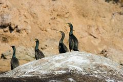 Colony crested cormorants on stones. royalty free stock image