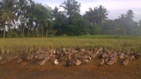 The colony of ducks Stock Photo