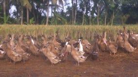 The colony of ducks Stock Photos