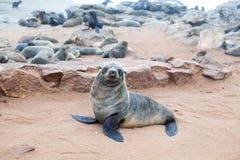 Colony of Eared Brown Fur Seals at Cape Cross,Namibia, South Africa,. Colony of Eared Brown Fur Seals at Cape Cross, Skeleton Coast, Atlantic ocean, national stock photos