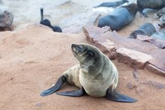 Colony of Eared Brown Fur Seals at Cape Cross,Namibia, South Africa,. Colony of Eared Brown Fur Seals at Cape Cross, Skeleton Coast, Atlantic ocean, national stock photography