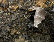 A colony of the Egyptian fruit bats. Stock Photography
