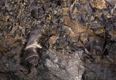 A colony of the Egyptian fruit bats in cave. Stock Image