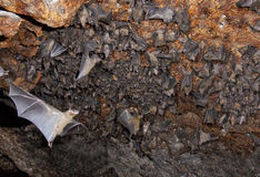 A colony of the Egyptian fruit bats in cave. Royalty Free Stock Images
