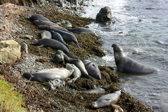 Colony of elephant seals on beach Stock Image