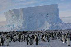 Colony of Emperor penguins. Emperor penguins in front of an iceberg Royalty Free Stock Photo