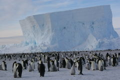 Colony of Emperor penguins. Emperor penguins in front of an iceberg Royalty Free Stock Photography