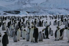 Colony of Emperor penguins. Cap Washington (Ross sea Royalty Free Stock Images