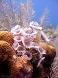Colony of feather duster worms Stock Photography