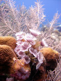 Colony of feather duster worms Royalty Free Stock Photo