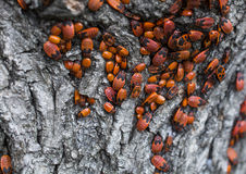 Colony of the firebugs on the tree Royalty Free Stock Photo