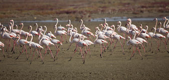 A Colony of Flamingos Stock Image