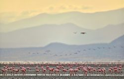 Colony of Flamingos on the Natron lake. Lesser Flamingo Scientific name: Phoenicoparrus minor. Tanzania Africa Royalty Free Stock Photos