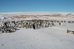 Colony, flock - Emperor Penguins in Antarctica. Overall plan. Colony, flock - Emperor Penguins in Antarctica. Penguins stand in the snow on a sunny day. Overall stock photography