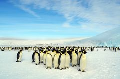 Colony, flock - Emperor Penguins in Antarctica. Overall plan. Colony, flock - Emperor Penguins in Antarctica. Penguins stand in the snow on a sunny day stock photo