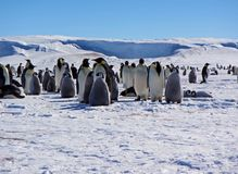 Colony, flock - Emperor Penguins in Antarctica. Overall plan. Colony, flock - Emperor Penguins in Antarctica. Penguins stand in the snow on a sunny day. Overall stock photos