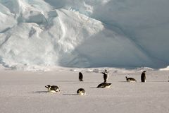 Colony, flock - Emperor Penguins in Antarctica. Overall plan. Colony, flock - Emperor Penguins in Antarctica. Penguins stand in the snow on a sunny day. Overall royalty free stock images