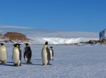 Colony, flock - Emperor Penguins in Antarctica. Overall plan. Colony, flock - Emperor Penguins in Antarctica. Penguins stand in the snow on a sunny day. A bright royalty free stock photos