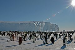 Colony, flock - Emperor Penguins in Antarctica. Overall plan. Colony, flock - Emperor Penguins in Antarctica. Penguins stand in the snow on a sunny day. A bright royalty free stock photo