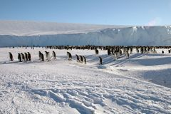 Colony, flock - Emperor Penguins in Antarctica. Overall plan. Colony, flock - Emperor Penguins in Antarctica. Penguins stand in the snow on a sunny day. Overall royalty free stock photo