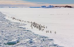 Colony, flock - Emperor Penguins in Antarctica. Overall plan. Colony, flock - Emperor Penguins in Antarctica. Penguins stand in the snow on a sunny day. Overall stock images