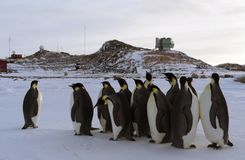Colony, flock - Emperor Penguins in Antarctica. Overall plan. Colony, flock - Emperor Penguins in Antarctica. Penguins stand in the snow on a sunny day. A bright stock photography