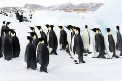 Colony, flock - Emperor Penguins in Antarctica. Overall plan. Colony, flock - Emperor Penguins in Antarctica. Penguins stand in the snow on a sunny day. Overall royalty free stock image